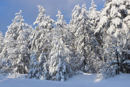 Snowy winter forest in clear sunny weather