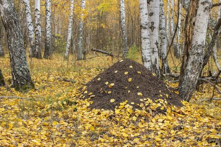 Landscape in the autumn forest with a view of the anthill and fallen leaves of birches