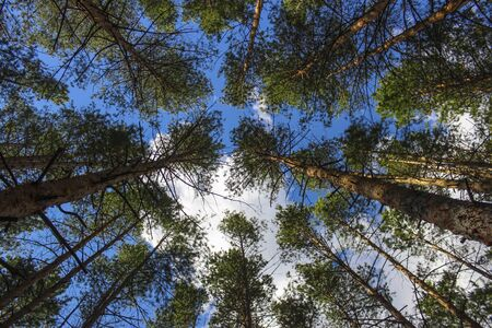 Crown of pines in a pine forest against a blue sky with clouds Stock fotó - 150293172