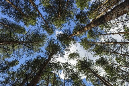 Crown of pines in a pine forest against a blue sky with clouds