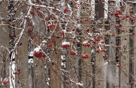 Frozen berries of viburnum, covered with snow, on branches against the background of a wooden fence