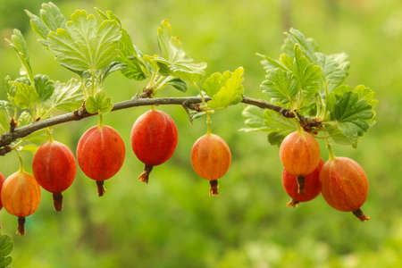 Branch of ripe red gooseberry in the garden close up