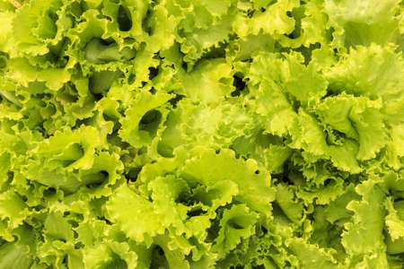 Lettuce leaves in the garden bed as a background. View from above