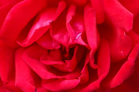 Red rose petals in bud close up as background