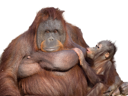 portrait of a family of orangutans with cut out background for easy editing
