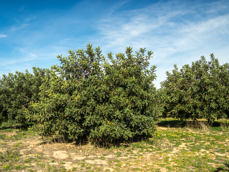 Several images of the carob trees as a whole and in detail in the field of Cartagena, in Murcia, Spain.