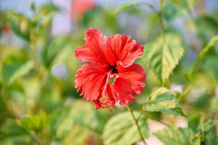 Magenta hibiscus flower. Red petal blossom flowers.