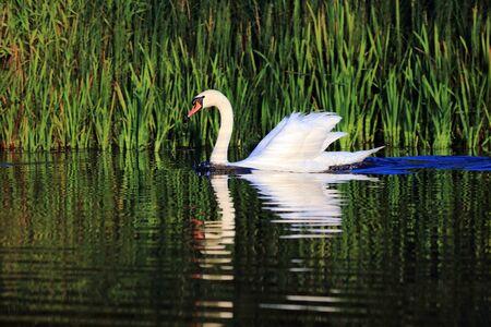 swans swim on the lake