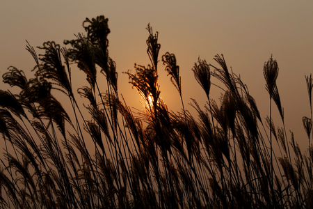 cane plumes: Sunset on Pampas Grass Stock Photo