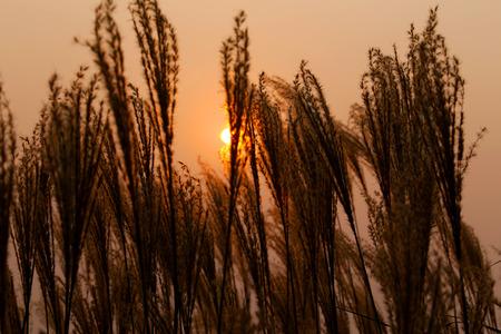 pampas: Sunset on Pampas Grass Stock Photo