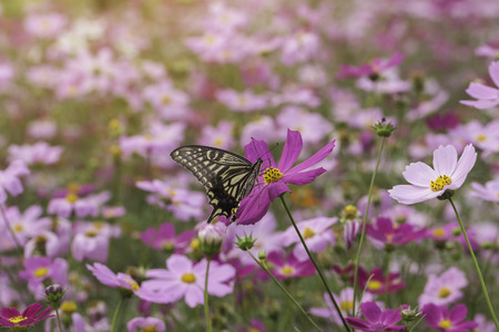 asteraceae: Beautiful flowers cosmos and Butterfly  on softly blurred background