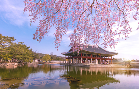 Gyeongbokgung Palace with cherry blossom in spring,Seoul,South Korea.