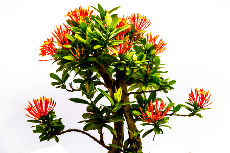 I like it a lot Ixora beauty and intelligence is significant  写真素材