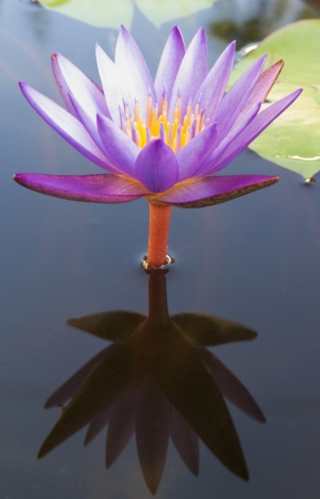 sheen: Purple lotus visible sheen on the water