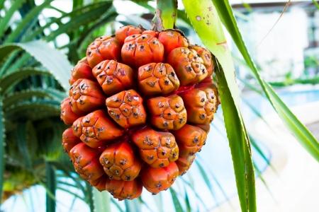 tectorius: Pandanus, and the orange leaves with thorns