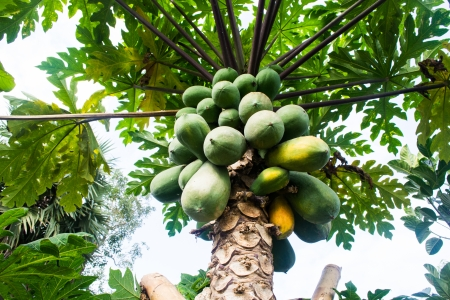 Species, papaya, sweet and delicious
