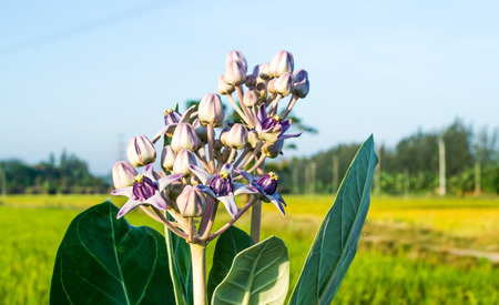 Colorful white and purple flower, Crown flower