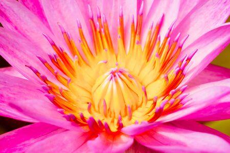 clima tropical: colorido nenúfar. La flor crece en clima tropical.