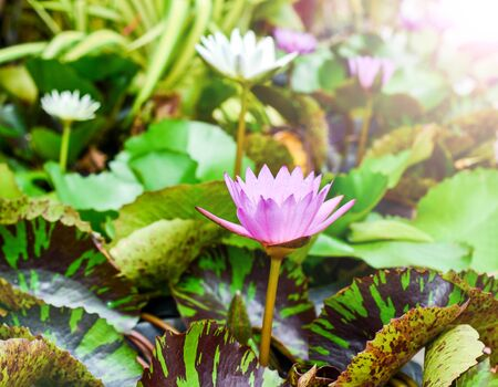 tropical climate: colorful waterlily. The flower grows in tropical climate.