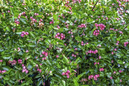 super fruit: Fresh Super fruit (Carissa carandas Linn.) on tree.