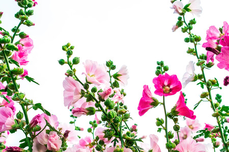 tera: Pink malva silvestris flower on a white background
