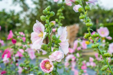 tera: Pink malva silvestris flower