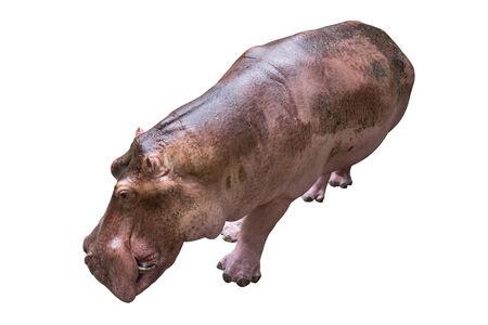 herbivore natural: Hippopotamus on white background