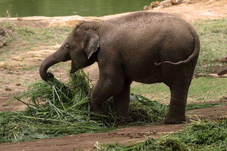 Happy infant elephant hogging on is food Stock Photo