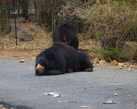 Indian sloth Black Bear