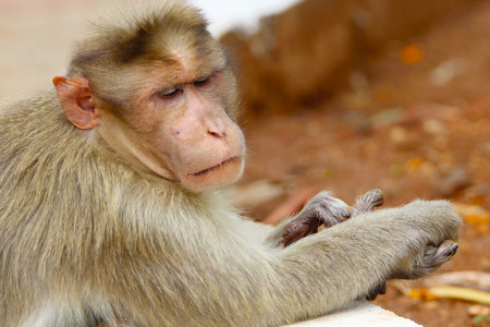 worshiped: Indian Monkeys Stock Photo