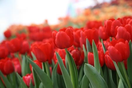nonthaburi: Beautiful tulip garden,Nonthaburi,Thailand