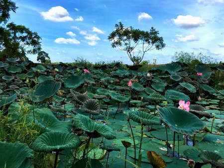 pink lotus: Pink lotus in pond