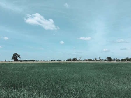 ricefield: The Ricefield landscape made by vintage filter. Stock Photo