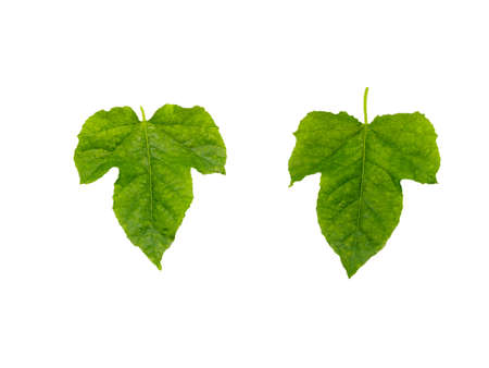 isoleted: Isoleted of The Green Leaf on white background.