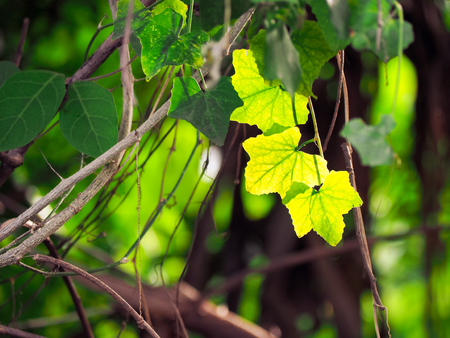 The green ivy climbing on the tree. Stock Photo