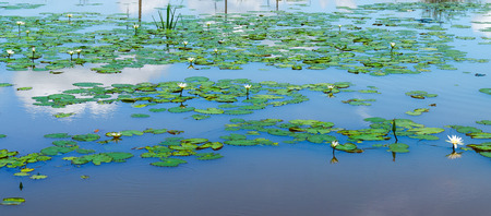 monet: The Lotus in Pond are blooming in the garden. Stock Photo