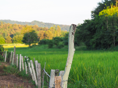 The Wire Barbed fence beside the rice field. Stock Photo