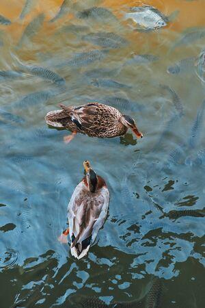 The ducks in pond in park in the morning.