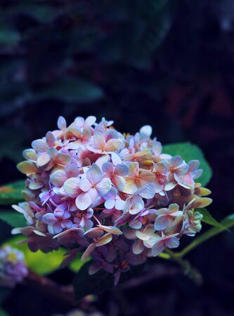 The purple hydrangea flower blooming in park in the morning.