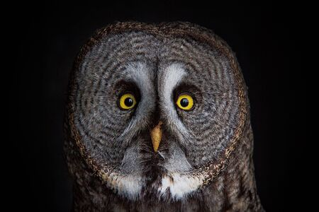 great gray owl portrait Stock Photo - 12330222