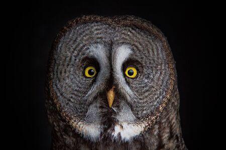 great gray owl portrait Stock Photo - 12330222