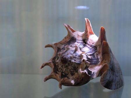 inhabits: Molluscs inhabits on the ocean floor and seas on glass stand base