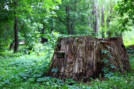 huge tree: A huge tree stump of a centuries-old tree adorns the central park of culture.