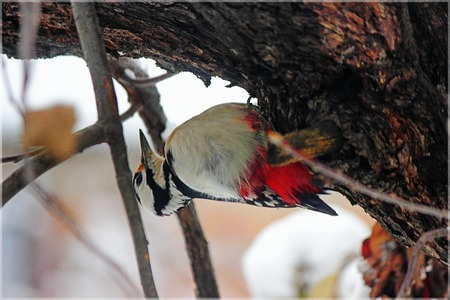 evocative: Most motley forest bird settled on a tree trunk in search of food. Stock Photo