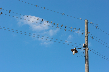 forked tail: Group of barn swallows.Beautiful bird of passage has a rest sitting on electric wires. Stock Photo