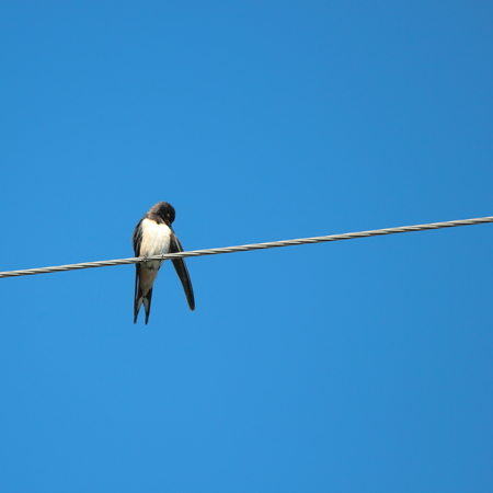 forked tail: Beautiful bird of passage has a rest sitting on electric wires. Stock Photo