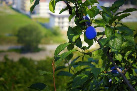 protrude: Bright fruit tasty and healthy fruit protrude through the green foliage.