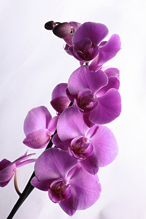 orchid branch: violet orchid branch isolated on white background Stock Photo