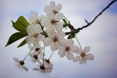 accompanied: The beginning of spring is accompanied by the rapid flowering of fruit and other trees Stock Photo
