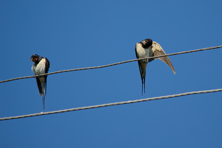 hilarity: Couple of village birds is resting with a stay on the wires